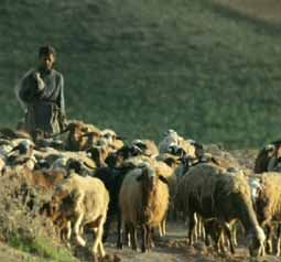 sheep grazing for rug production